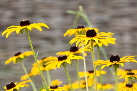 susan: flowers susan with yellow petals Stock Photo