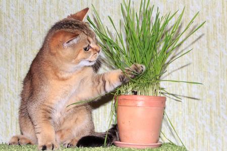 vegetative: gold kitten play with green grass Stock Photo