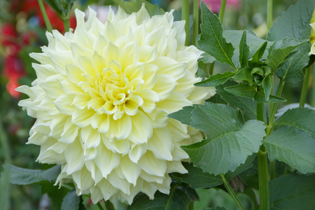 odorous: beautiful flower with many petals