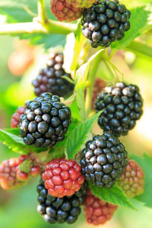 sappy: branch of ripe blackberries