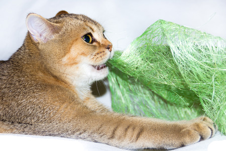 rend: gold kitty play with green toy