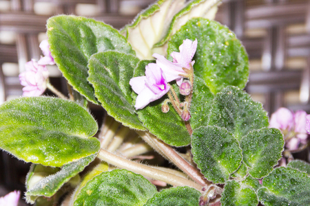violas: flowers and leaves of violets home