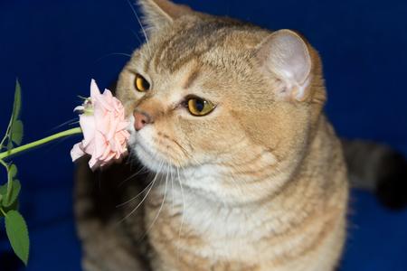 sniff: cat sniffs a pink rose flower