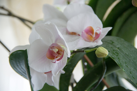 Orchid flowers and buds on a branch