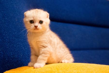 little white kitten cute pet