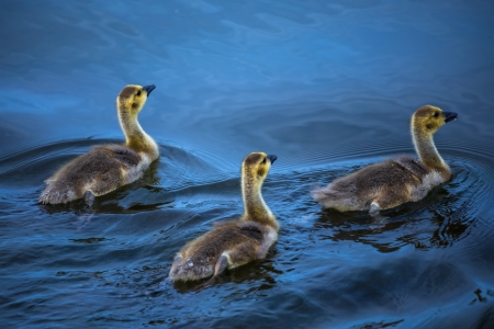 three little goslings swimming in the lake photo