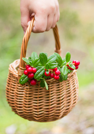 cowberry: Sprigs of cowberry in the basket. Soft focus