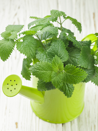 lemon balm: Organic Melissa. Sprigs of fresh lemon balm in a decorative vase. Spicy greens. Selective focus