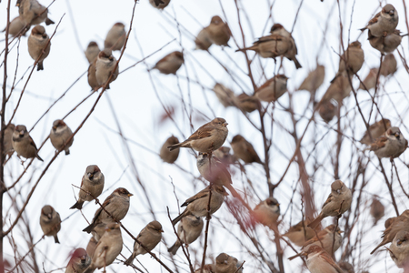 A flock of house sparrows sitting on a branch in the city