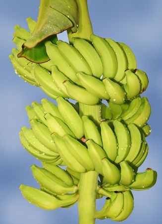 Bunch of fresh banana with drops over cloudy sky.