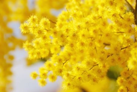 Yellow Mimosa, symbol of the early springtime in Europa (Italy) and International Womans Day 8th March.