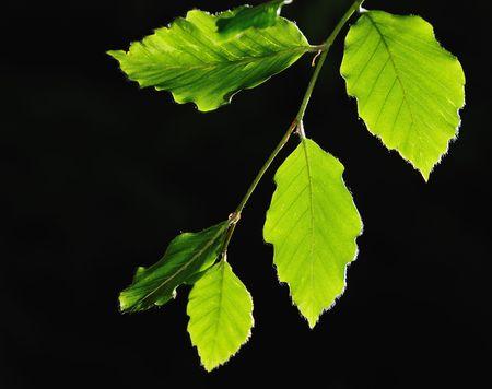 Linden leaves in backlight against dark background photo