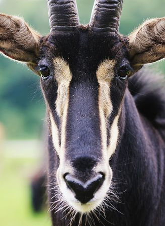 sable: Portrait of sable antelope (hippotragus niger). Selective focus.