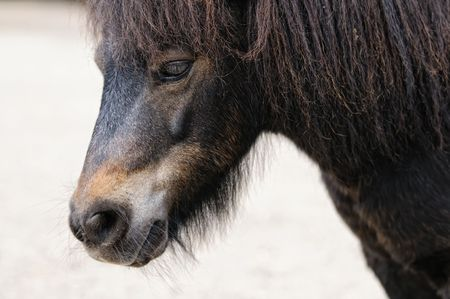 Close up shot of islandic horse. Shallow depth of field, focus on eye. photo