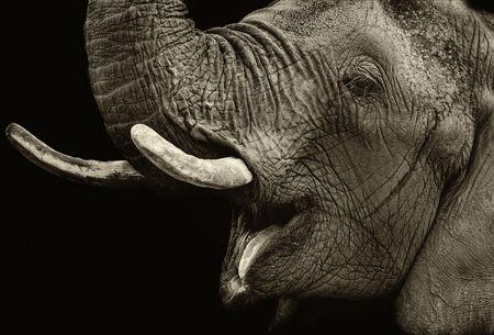 Portrait of elephant against dark background. Sepia tone. Stock Photo - 5605248