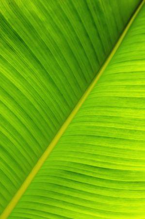 banana leaf: Close up de una hoja de �rbol de banano. Puede utilizarse como fondo de la naturaleza.  Foto de archivo