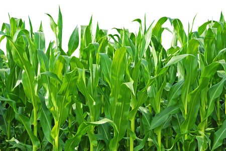 Rows of Corn Stalks Growing on a Farm. Isolated against white background. Stock Photo