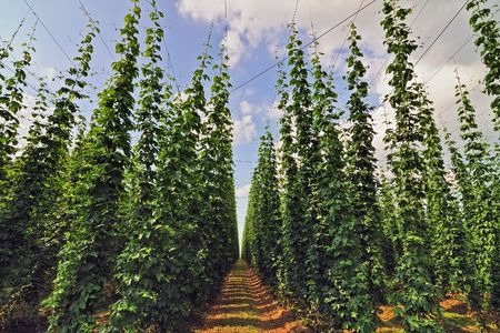 Growing hop in rows in the hop growing area Hallertau in Bavaria, Germany. Low angle perspective. Stock Photo