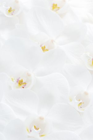 Close up shot of white orchid. Can be used as background.