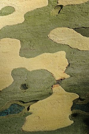 Close up of peeling bark of plane tree. The pattern of plane tree bark has been used for military camouflage. Stock Photo - 7599294