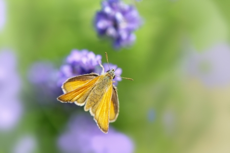 Close up shot of butterfly (Hesperiidae) on the flower