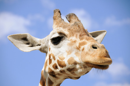Portrait of a giraffe against blue sky; Giraffa Camelopardalis Stock Photo