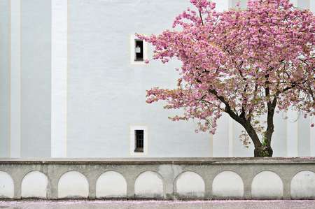 Cherry (Sakura) blossom on the background of old wall and buildind in Europe Stock Photo