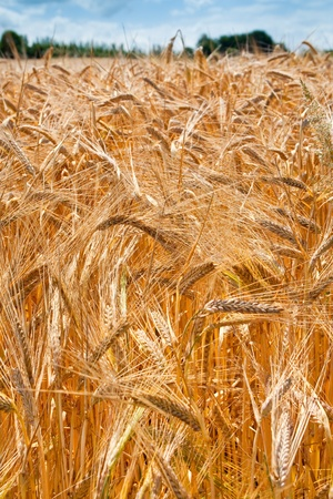 yellow wheat ears close up in field Stock Photo - 8911773