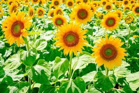 sunflower field in Alsace, France Stock Photo - 8911393