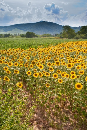 field of sunflower with Vosges Mountains background in Alsace, France Stock Photo - 8911866