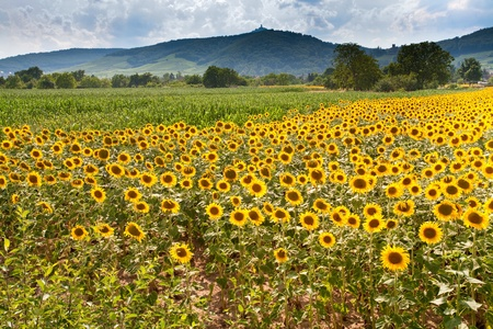 field of sunflower with Vosges Mountains background in Alsace, France photo