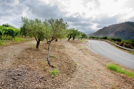 olive garden and vineyard on gentle slope in Etna region, Sicily photo