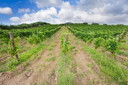 sycylijski: winnic i drzew oliwnych w łagodnym zboczu w regionie Etna na Sycylii