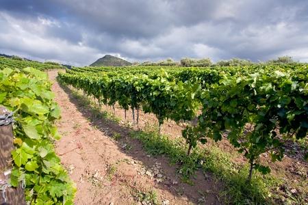 worked: vineyard on gentle slope in Etna region, Sicily