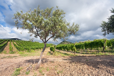 olive tree and vineyard on gentle slope in Etna region, Sicily photo