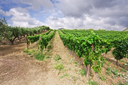 region sicilian: vineyard and olive trees on gentle slope in Etna region, Sicily Stock Photo