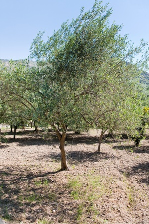 olive tree in Sicilian garden photo