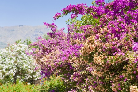 pink flowers of oleander in summer day in Sicily photo