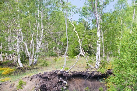 volcano slope: birch grove on gentle slope of volcano Etna, Italy Stock Photo