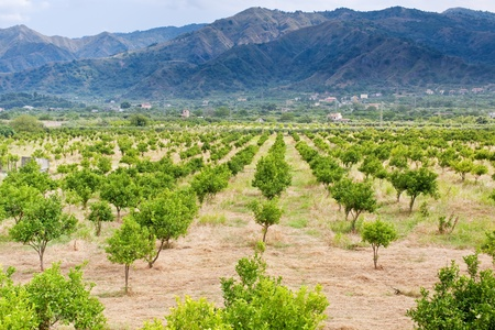 region sicilian: sicilian landscape - tangerine orchard with mountains on background Stock Photo
