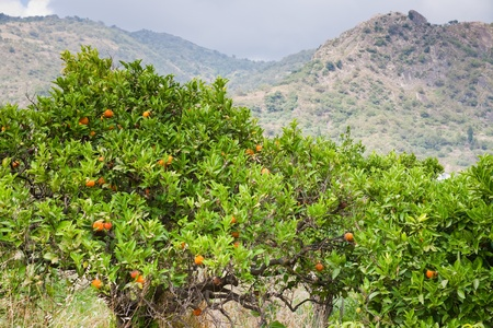 region sicilian: tangerine trees with mountains on background, Sicily Stock Photo