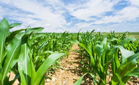 planta de maiz: campo de ma�z bajo el cielo azul en Francia Foto de archivo