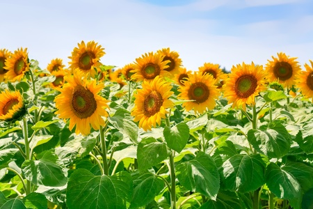 sunflower field in Alsace, France Stock Photo - 12418068
