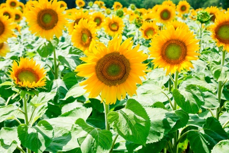 sunflower field in Alsace, France Stock Photo - 12418280
