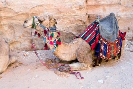 saddle camel: one bedouin camel in Petra, Jordan Stock Photo