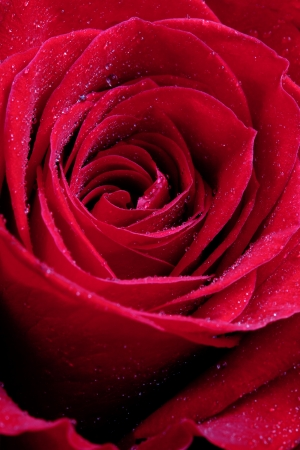fresh wet red rose close up photo