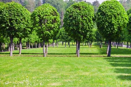 緑の芝生との夏の日に木の行