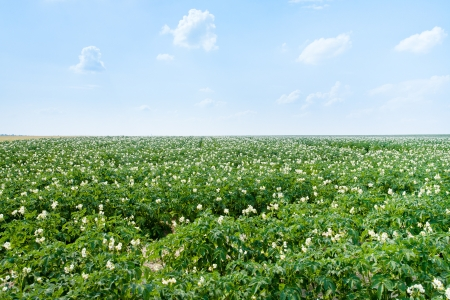 agricultural field of potato plant in France Stock Photo - 14005523
