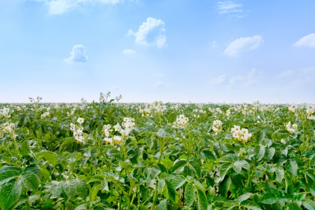 agricultural field of potato plant in France Stock Photo - 14001664