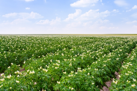 potato field: agricultural field of potato plant in France